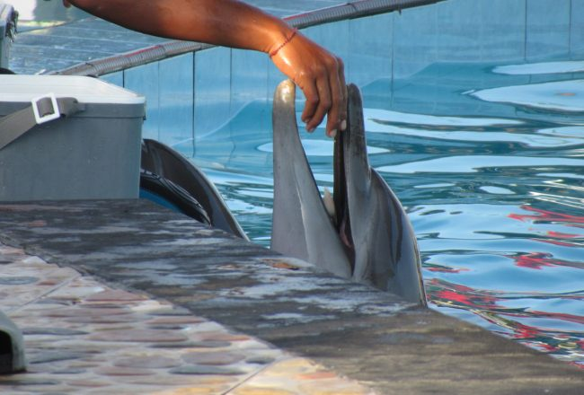 Dolphin in swim-with-program, Bali, Indonesia