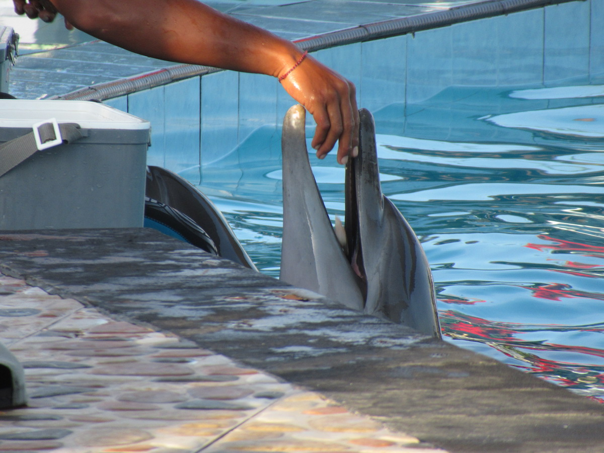 Dolphin in swim-with-program, Bali, Indonesia