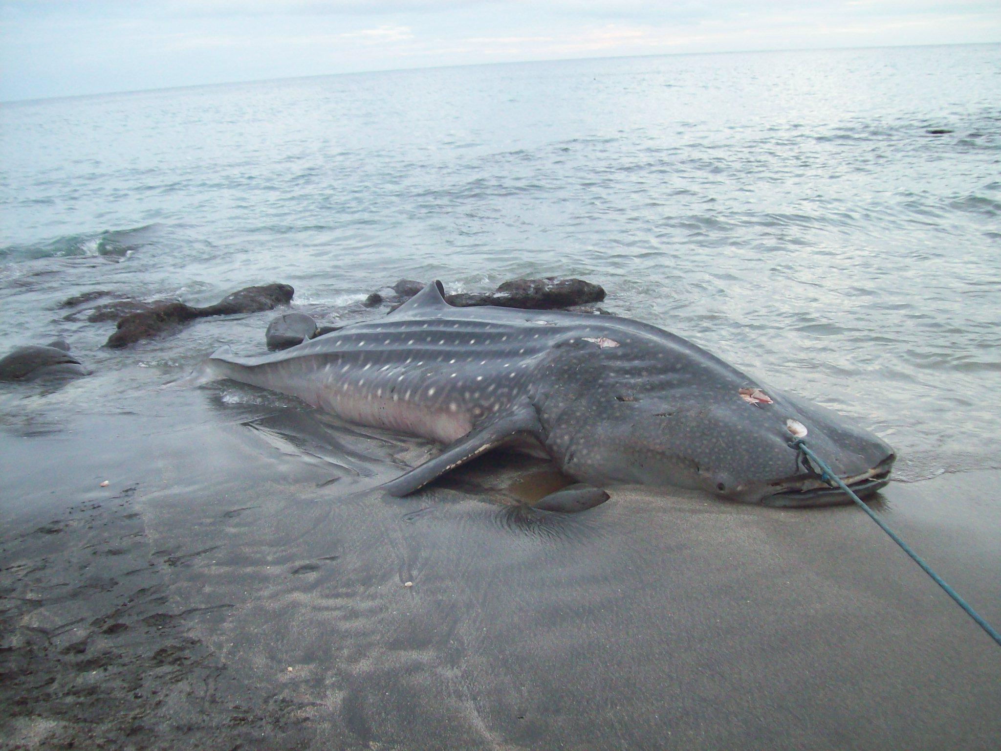 A harpooned whale shark in Lamalera, Indonesia.