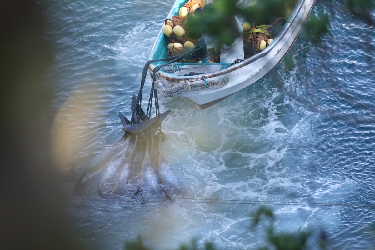 Slaughtered melon-headed whales being dragged out from underneath the tarps, Taiji, Japan