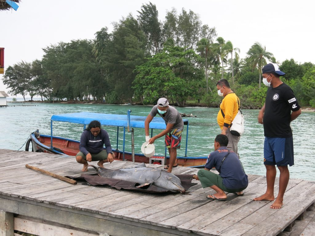 Deceased bottlenose dolphin, illegally captured for Indonesia's notorious traveling dolphin circuses. Credit: DolphinProject.com