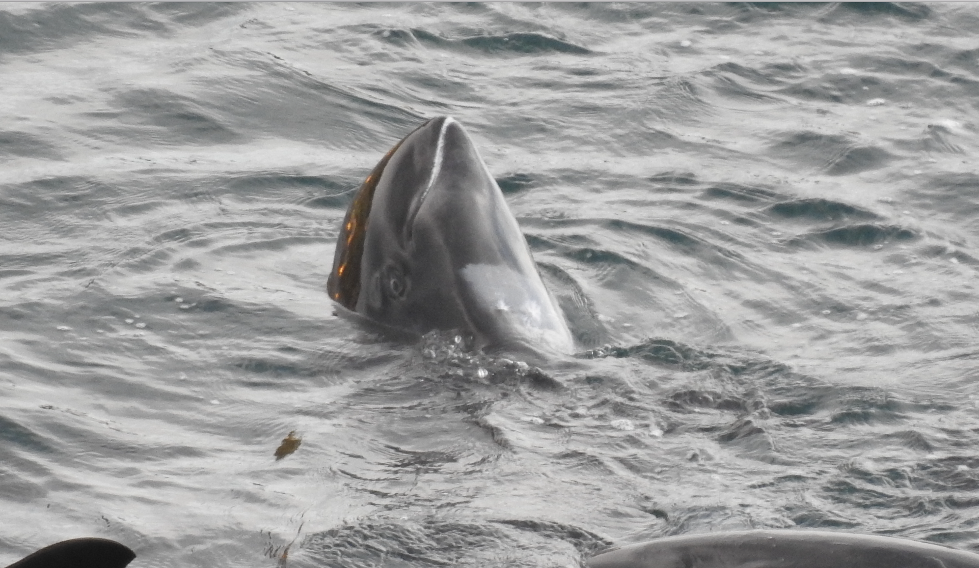 Melon-headed whale spyhops after being driven into the cove, Taiji, Japan.