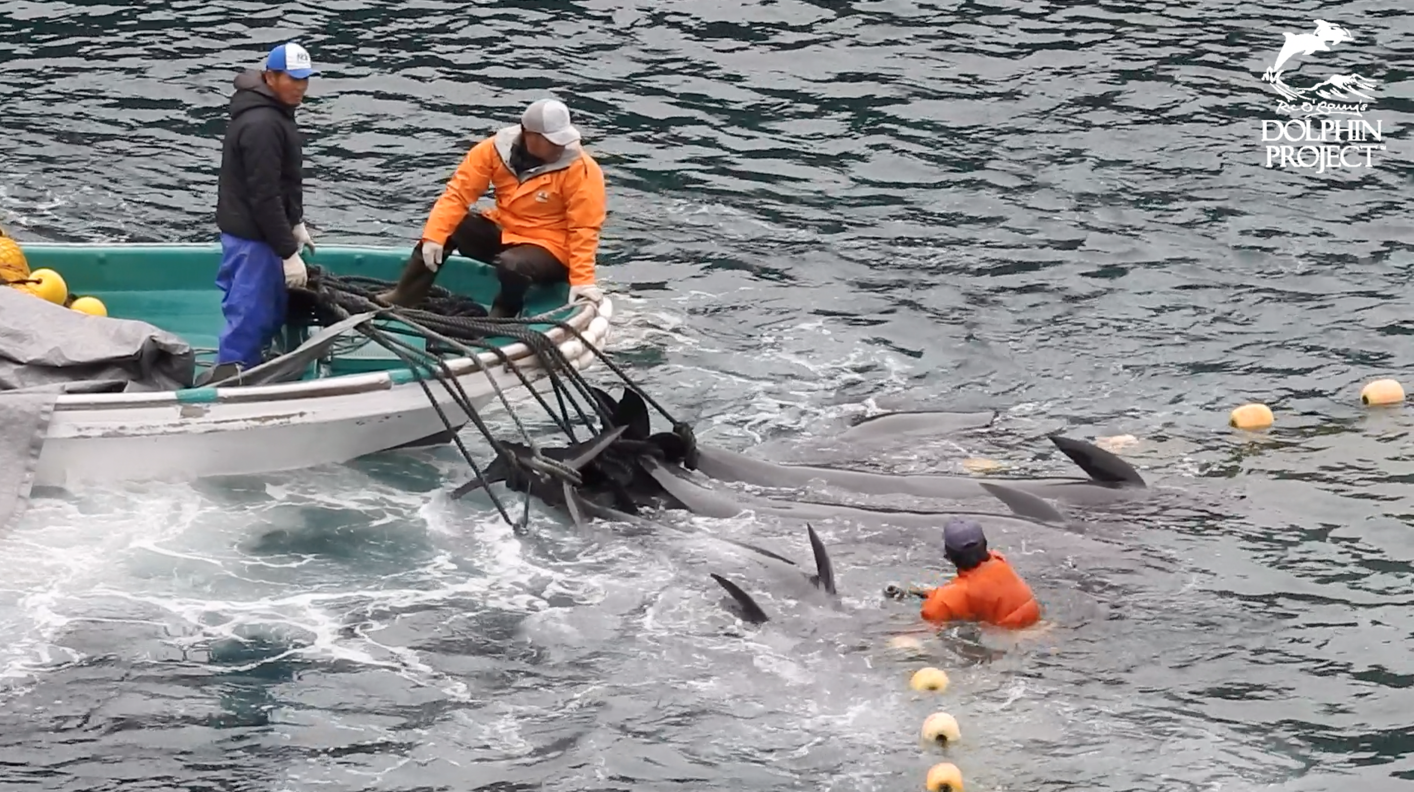 Melon-headed whales are dragged to the butcher's house after slaughter.