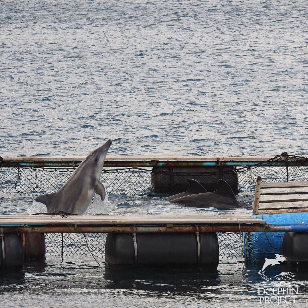Small enclosures prevent wild-caught rough-toothed dolphins from returning back to the adjacent sea.
