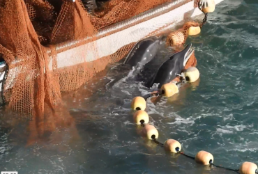 Rough-toothed dolphins after being driven into The Cove, Taiji, Japan