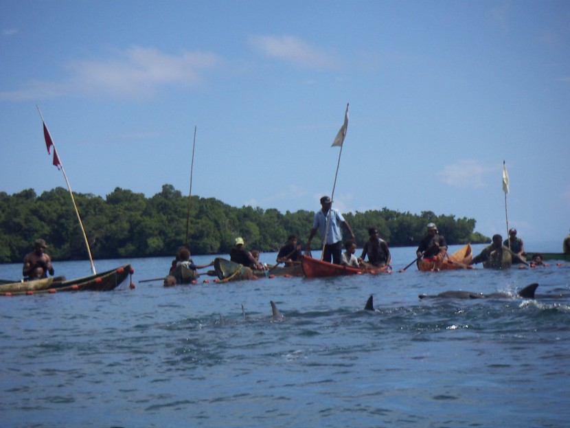Dolphin hunting using traditional methods, Solomon Islands