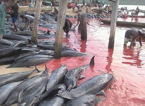 solomon islands, dolphin slaughter, fanalei, pantropical spotted dolphins
