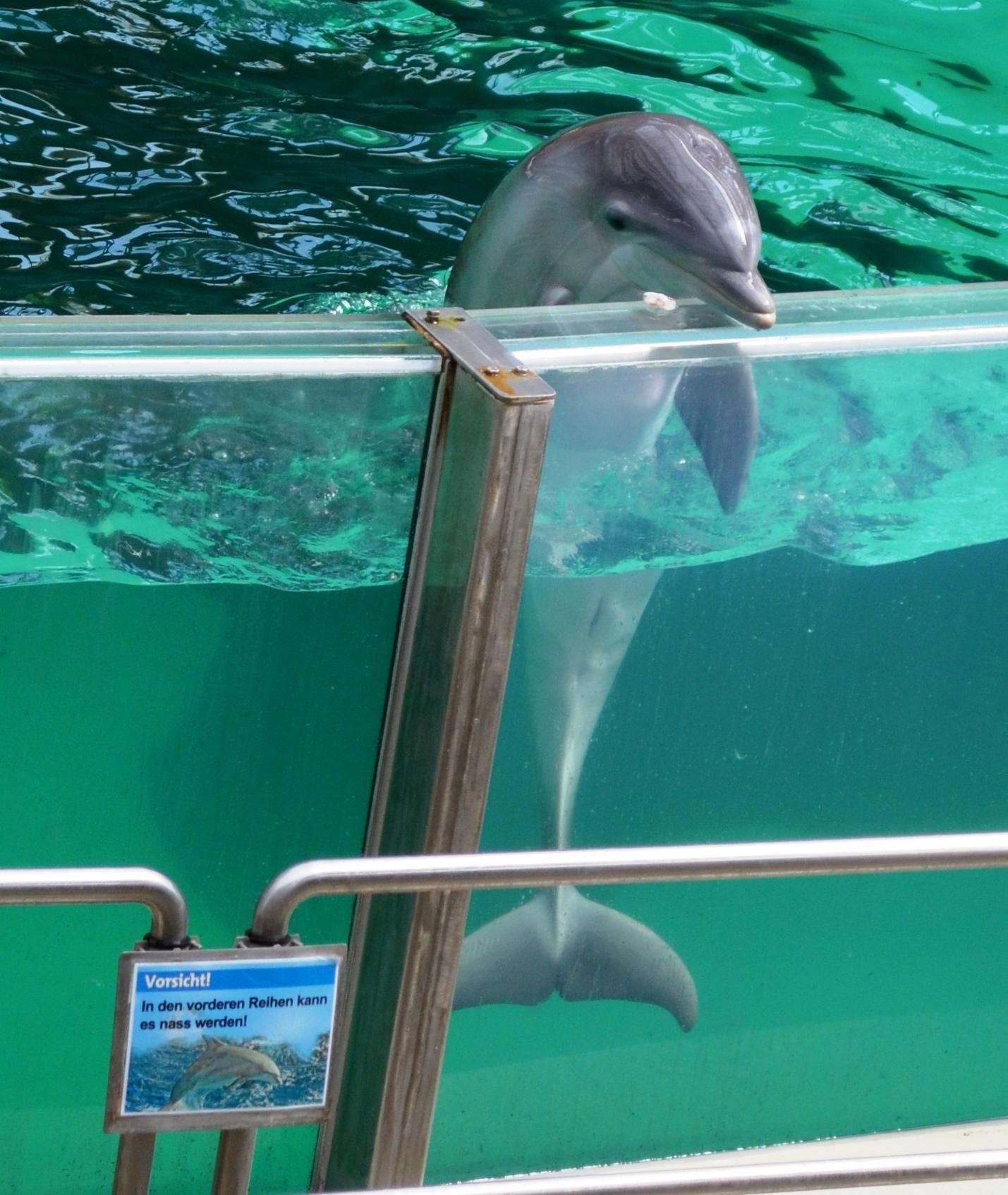 Captive bottlenose dolphin at Duisburg Zoo