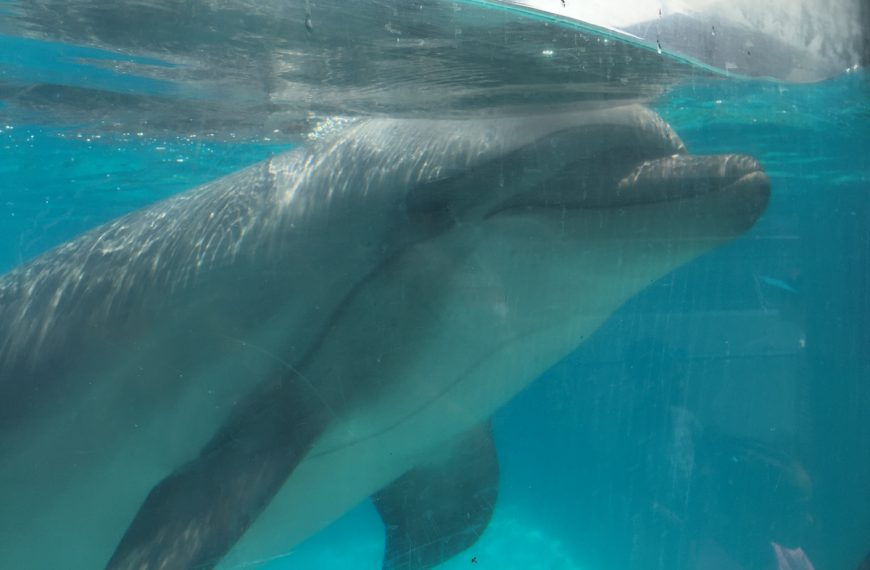 Captive bottlenose dolphin at Marineland, Niagara Falls