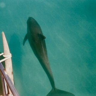 Wild bottlenose dolphin, Key West, Florida.
