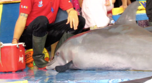 Indonesia's traveling circuses are hell on earth for dolphins.