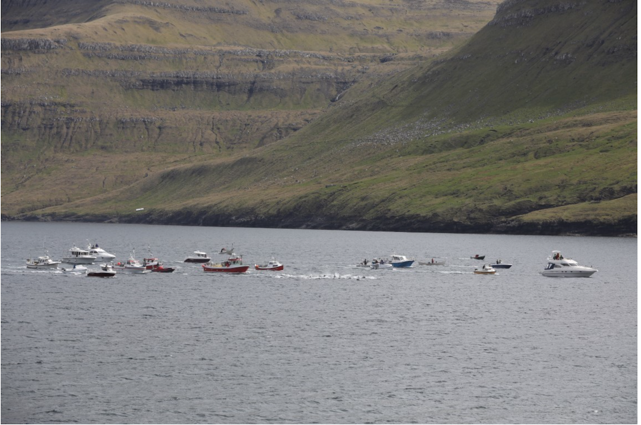 Similar to the drive hunts in Taiji, Japan, Faroese hunters herd terrified dolphins into shallow waters for slaughter.