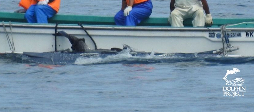Risso's dolphins tethered to skiffs as they are taken to the butcher's house for processing, Taiji, Japan.