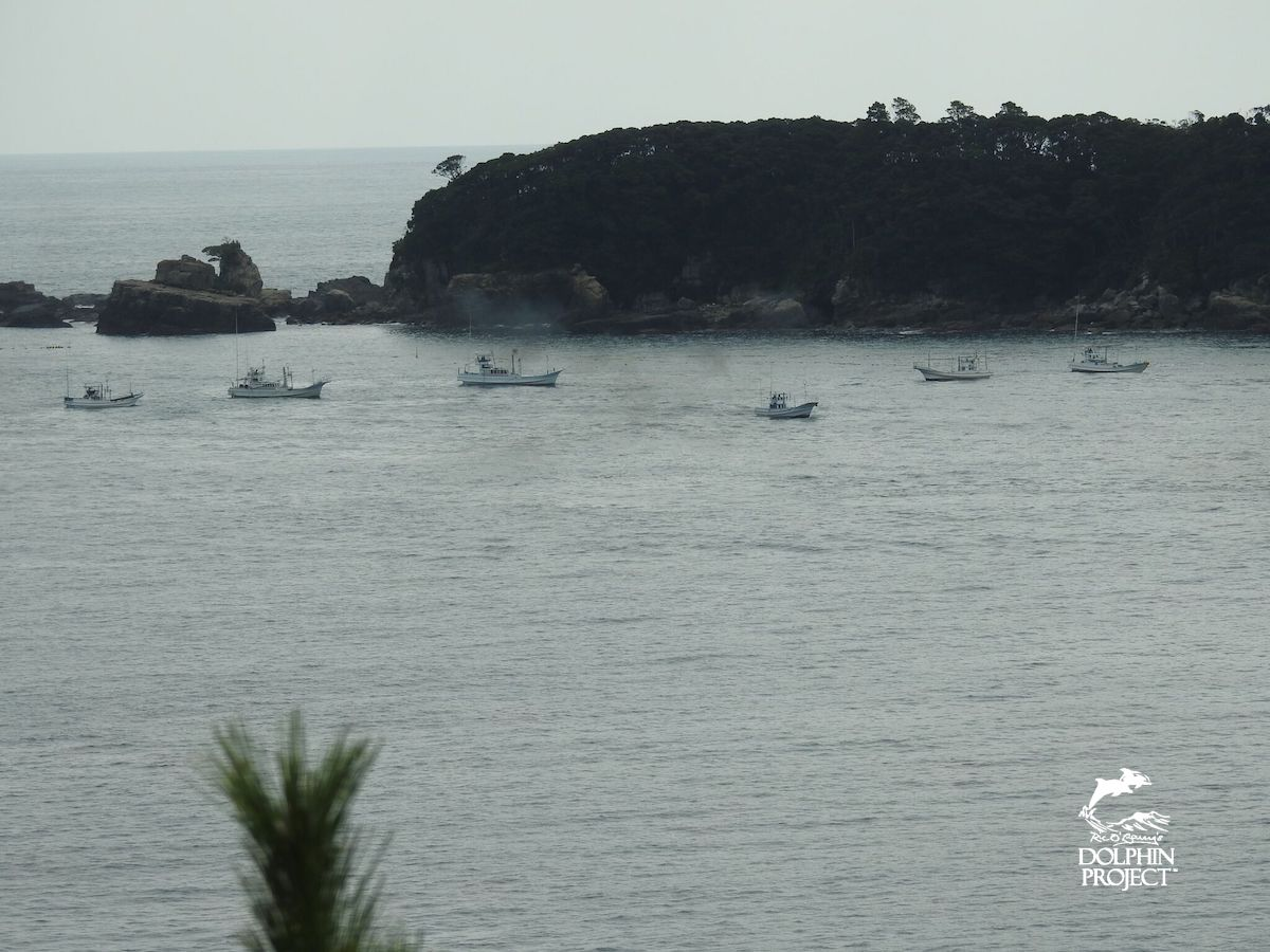 Banger boats attempt to push a pod of dolphins into The Cove, Taiji, Japan.