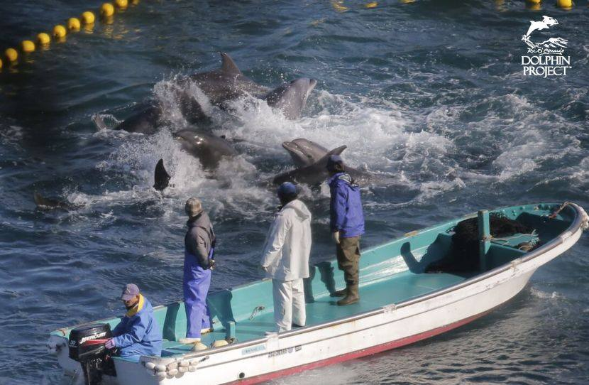 Dolphin Capture Process Taiji Japan Dolphin Project