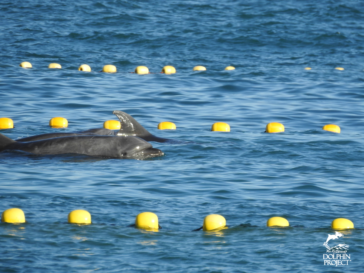 Dolphins swim closely together after being caught by hunters in first bottlenose drive of the 2018-19 season, Taiji, Japan.