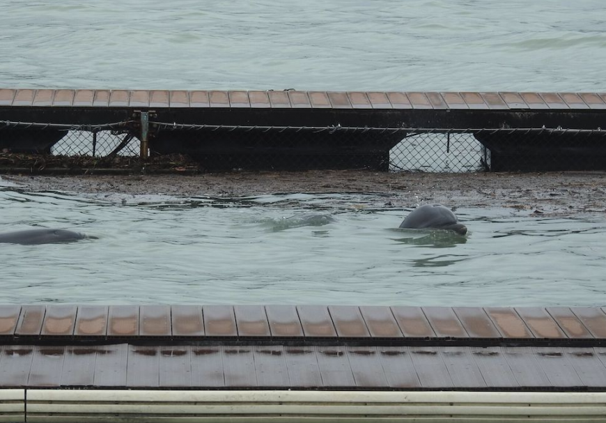 Captive dolphins swim amidst debris and muddy waters from Typhoon Trami- Dolphin Base, Moriura Bay, Taiji, Japan.