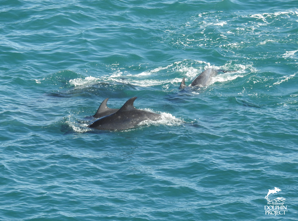 Two young juveniles are amongst the dolphins trapped in The Cove, Taiji, Japan
