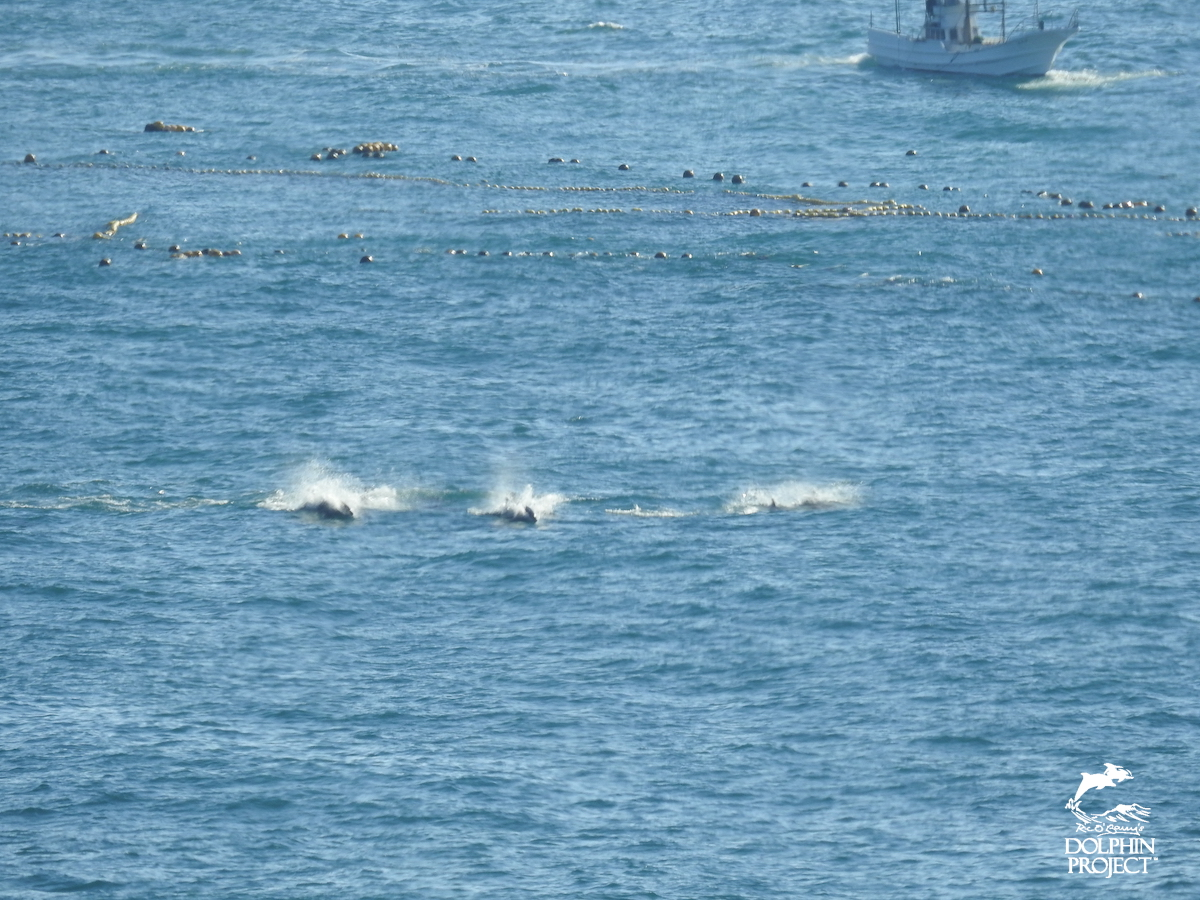 A pod of bottlenose dolphins is chased to exhaustion and driven into The Cove, Taiji, Japan.