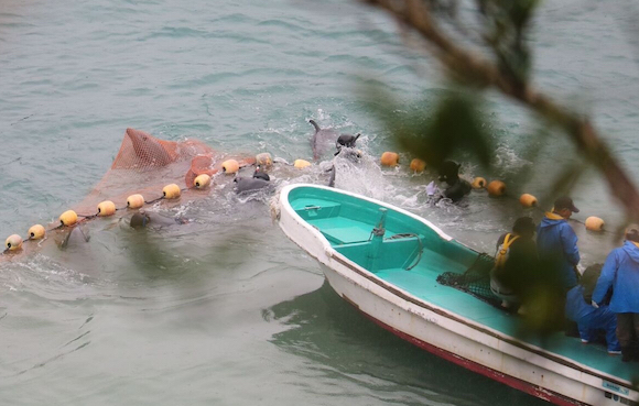 Terrified dolphin stuck in net during a captive selection process, Taiji, Japan.