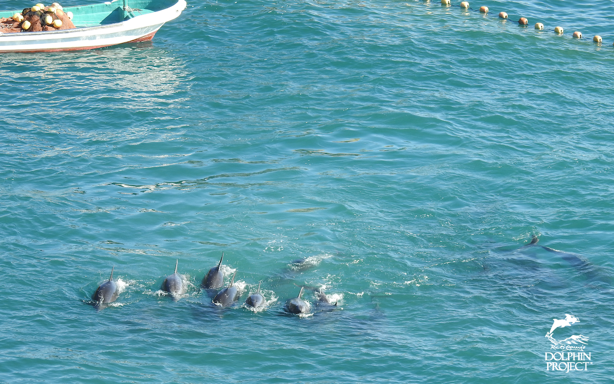 Dolphins swim tightly together after being driven into The Cove, Taiji, Japan.
