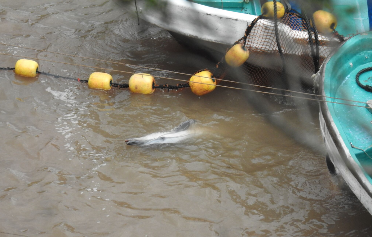Dead striped dolphin floating in the cove, Taiji, Japan