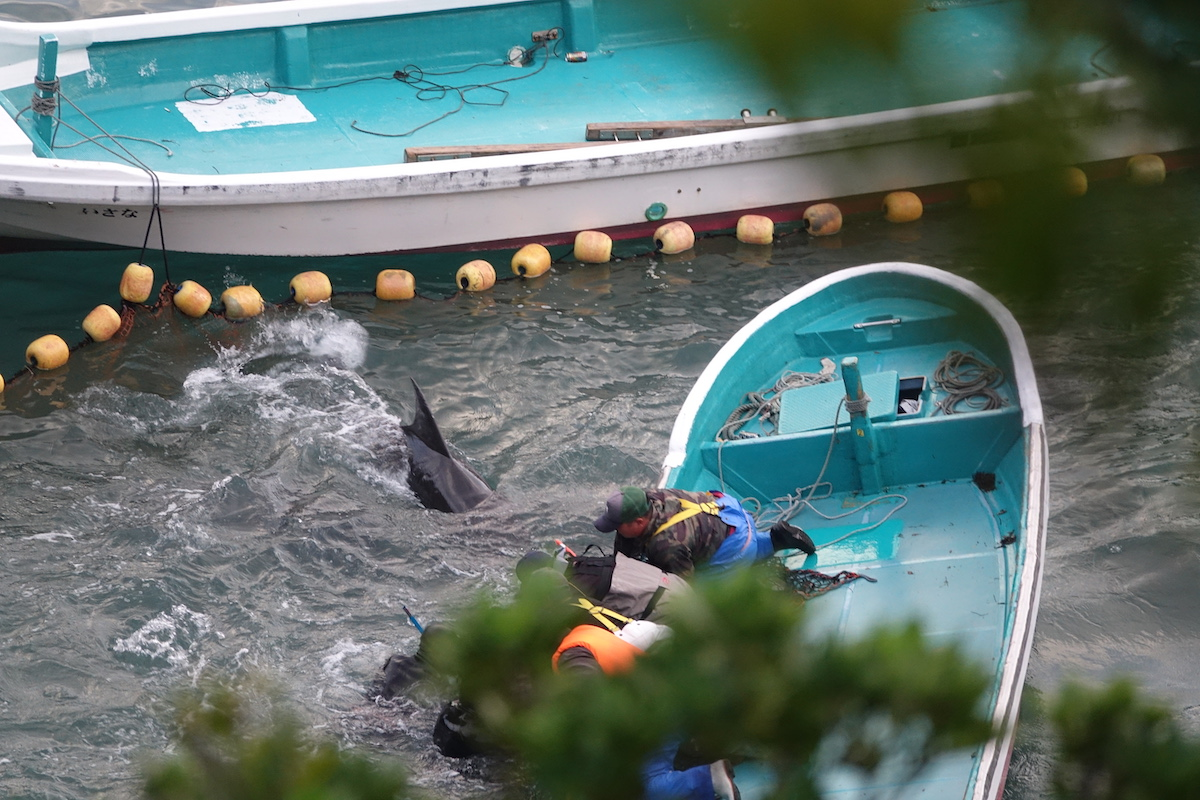 Dolphins harassed by divers, skiffs and trainers during captive selection, Taiji, Japan