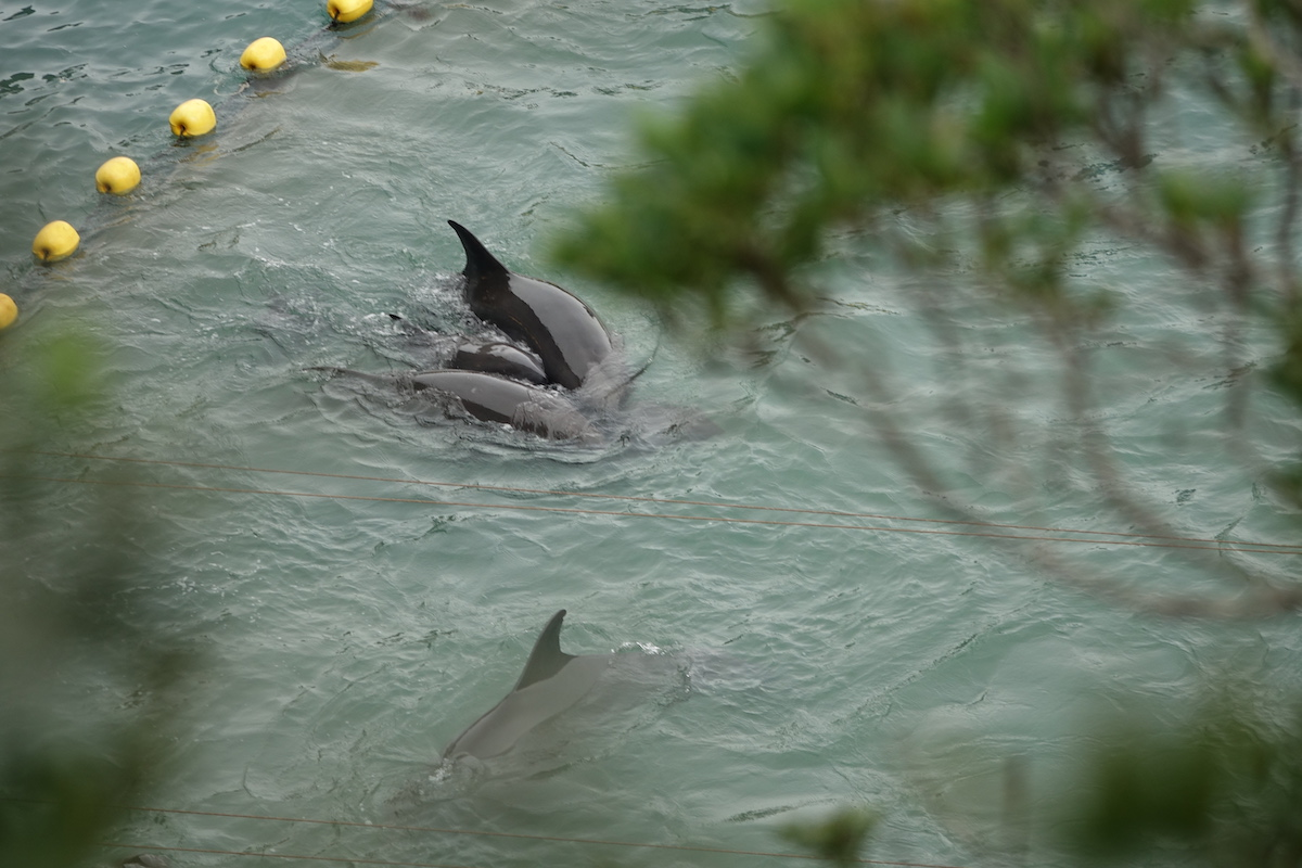 Juvenile melon-headed whale huddles close to adults after being driven into the Cove, Taiji, Japan.