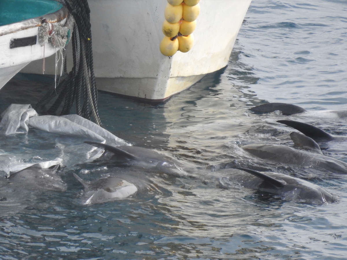 Slaughtered melon-headed whales dragged to butcher's house, Taiji, Japan. Credit: DolphinProject.com
