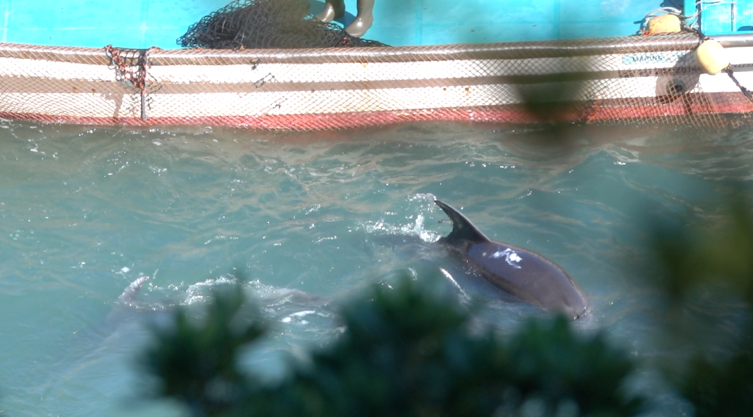 Dolphin smeared with white substance, indicating it hasn't been selected for captivity, Taiji, Japan