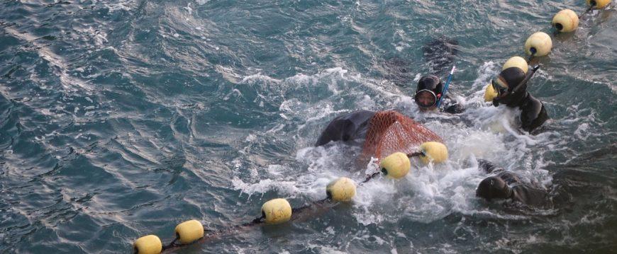 Bottlenose Dolphin Capture Taiji The Cove Captive Selection Captivity