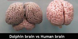 dolphin-brain-vs-human-brain