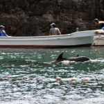 Cove_Dol_Boat_Sakura_SMALL_9-12