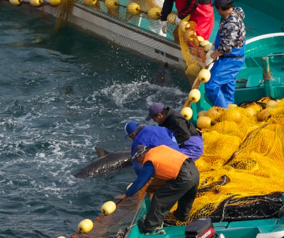 Spotted Dolphins Die in Taiji