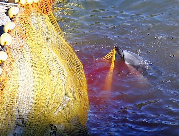Violent and Brutal Week in Taiji