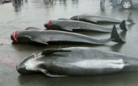 Faroe Island Whaling Up Despite Health Warnings