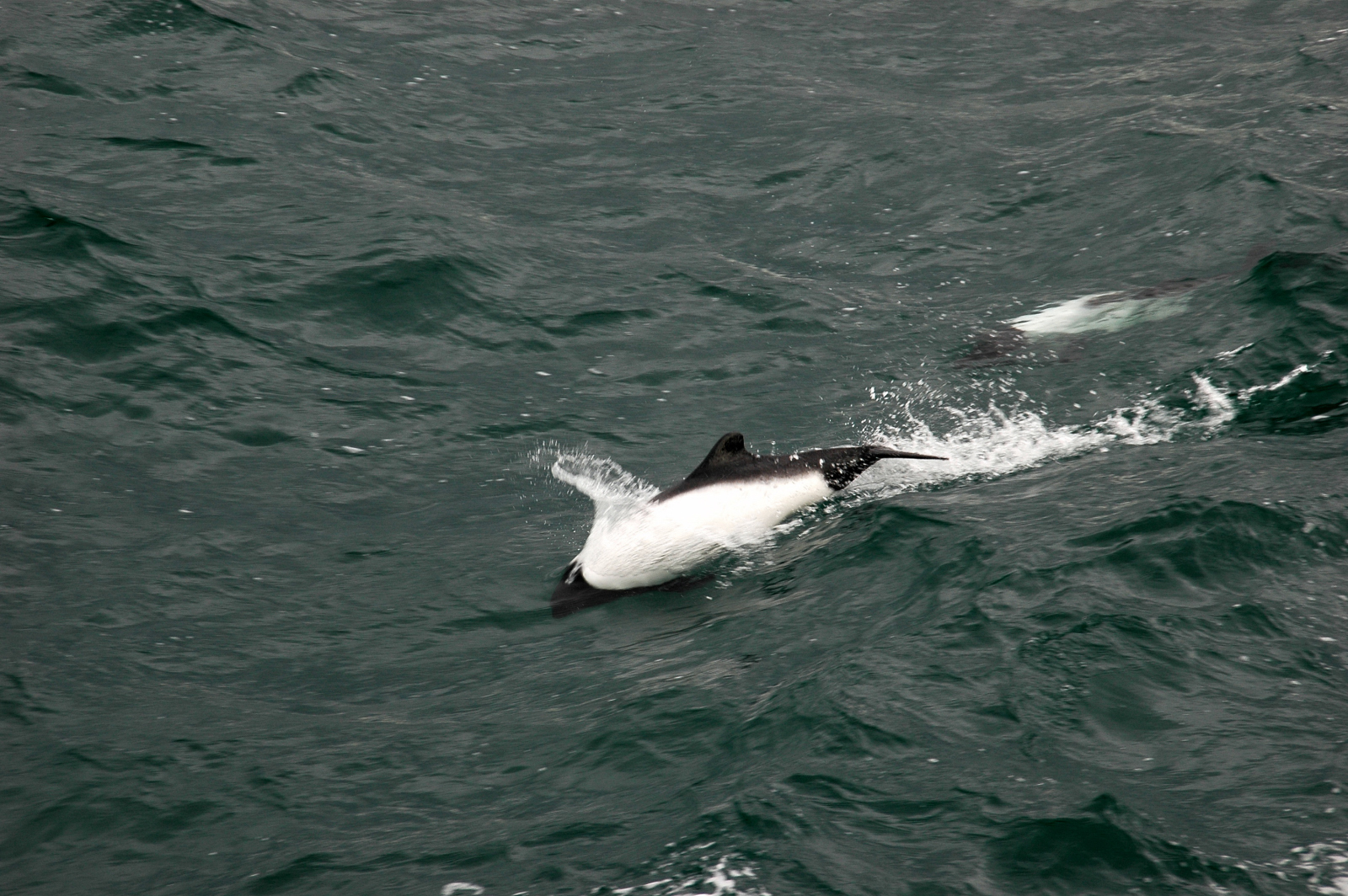 Captive Commerson's dolphins in North America | Ric O ...