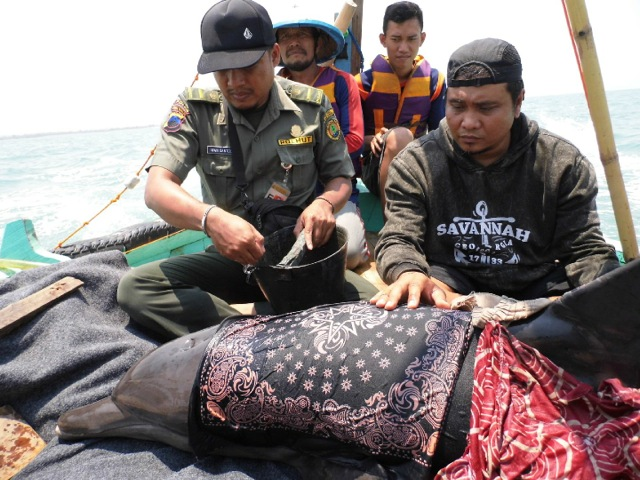Captured Dolphin Rescued and Set Free in Indonesia