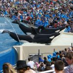 Orcas perform at SeaWorld San Diego. Calif. Image: Business Navigatoren.