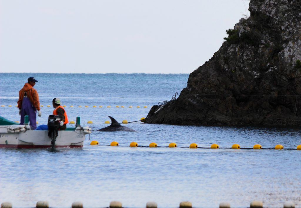 Risso's Drive 11/14/14 Photo Courtesy: DolphinProject.net
