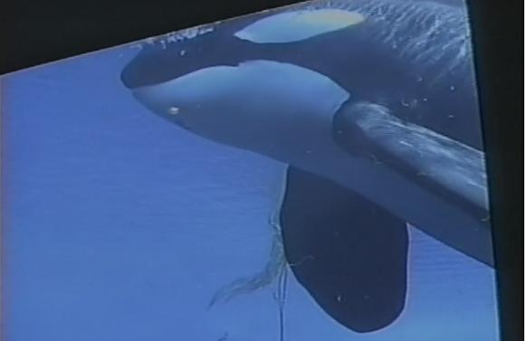 Ontario To Terminate Breeding and Importation of Killer Whales
