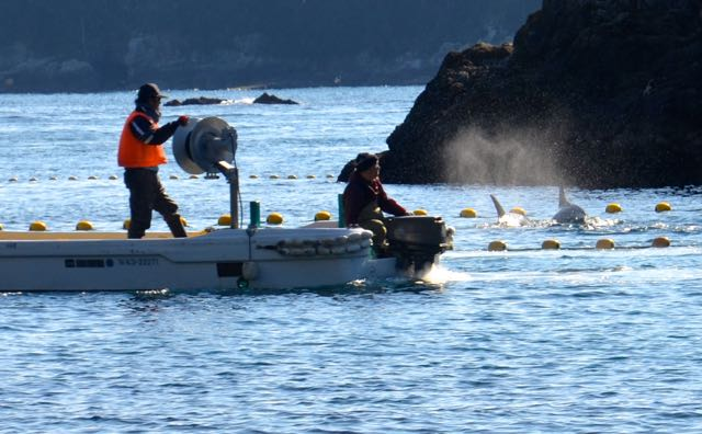 Risso's In The Cove Photo: DolphinProject.net