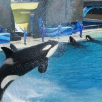 Orcas performing at SeaWorld San Diego. Image: Business Navigatoren/Wikimedia/CC Attribution-Share Alike 3.0