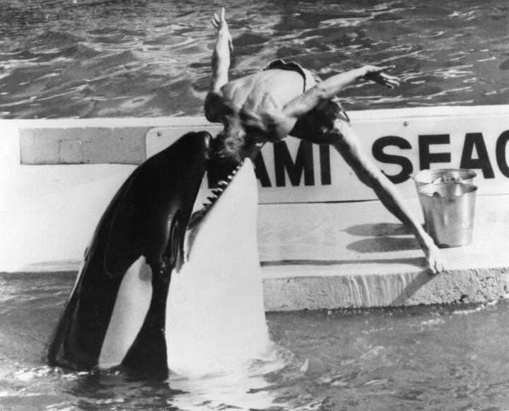 orca, Miami Seaquarium