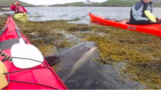 VIDEO: Trapped dolphin rescued by Kayakers