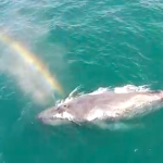 Drone shot of humpback Whale