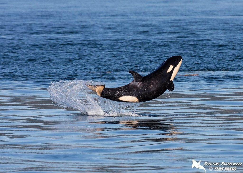 wild baby orca