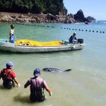 This female Risso's dolphin stranded herself.  Photo: DolphinProject.com