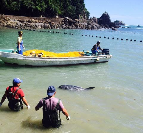 First Blood Spilled in Taiji Cove