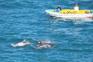 Hunting boats pushing terrified Risso's dolphins to shore Photo credit: DolphinProject.com/Hans Peter Roth